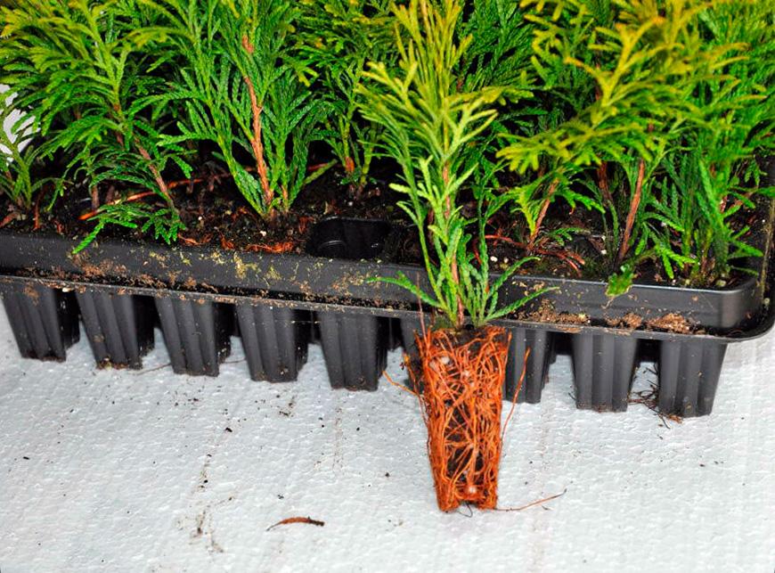 Выращивание хвойных деревьев в кассетах